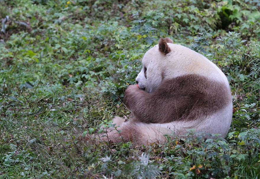 abandoned-brown-panda-qizai-21