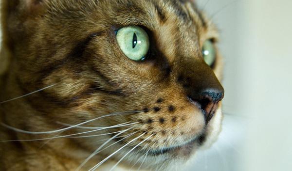 Бенгальская кошка 2