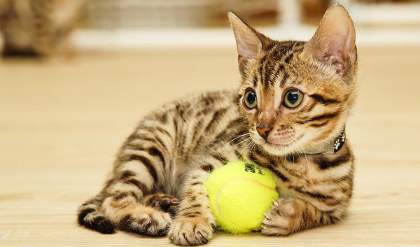 Бенгальская кошка 3