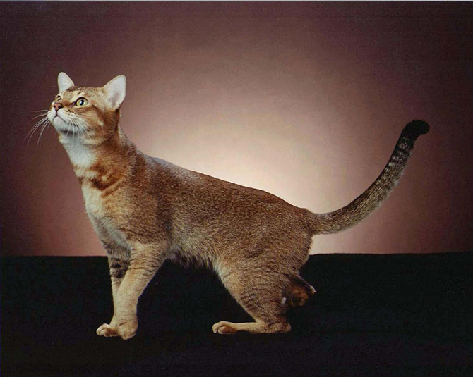 Цейлонская кошка 4