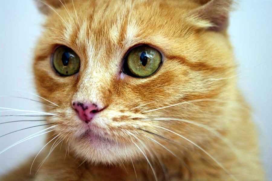 Цейлонская кошка 2