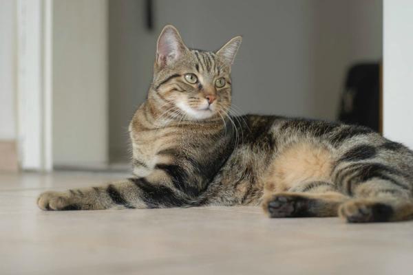 brazilian-shorthair-cats1