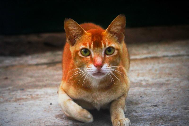 Цейлонская кошка 3