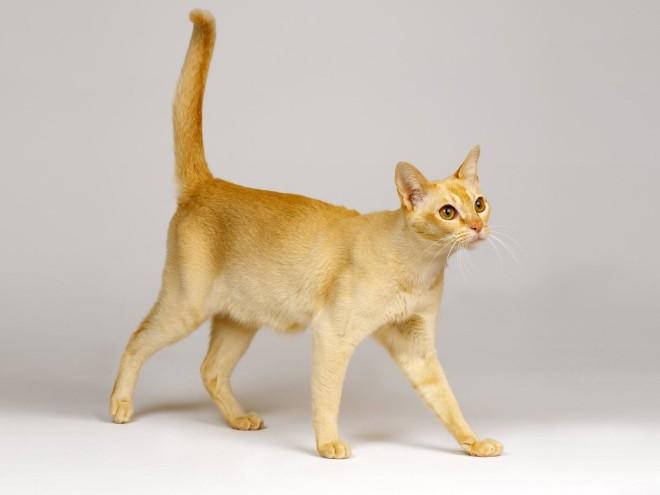 Цейлонская кошка 5