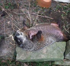 Слепой сурок 3 дня лежал во дворе, а теперь спит в кровати со своей спасительницей!!!