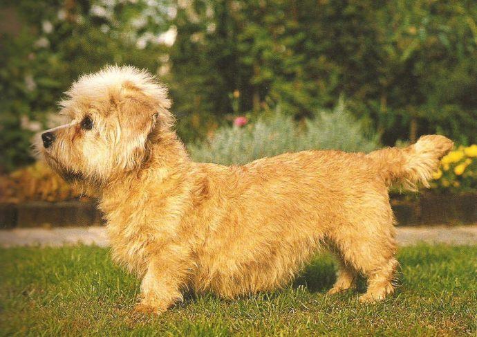 Денди динмонт терьер (Dandie Dinmont Terrier) 5