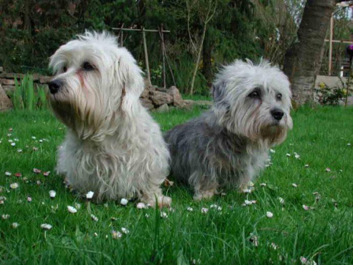 Денди динмонт терьер (Dandie Dinmont Terrier) 6