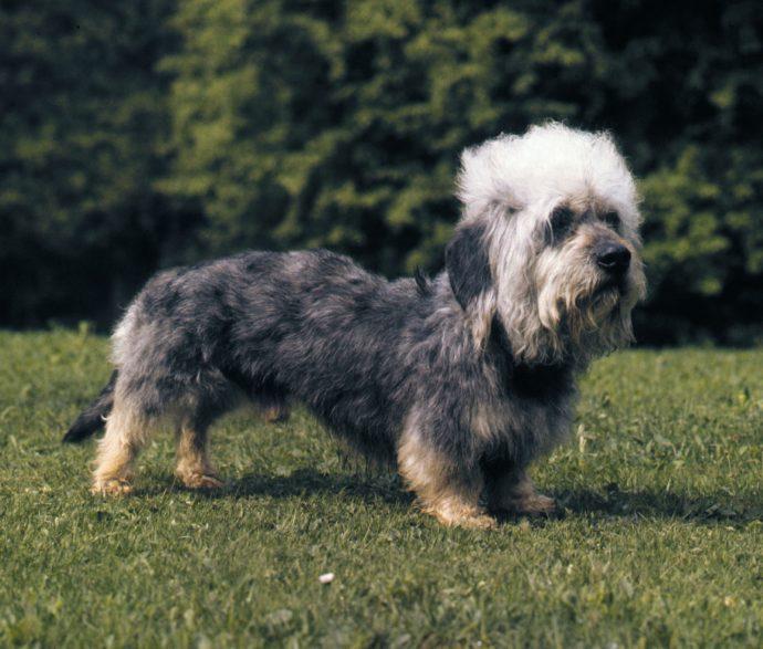 Денди динмонт терьер (Dandie Dinmont Terrier) 2