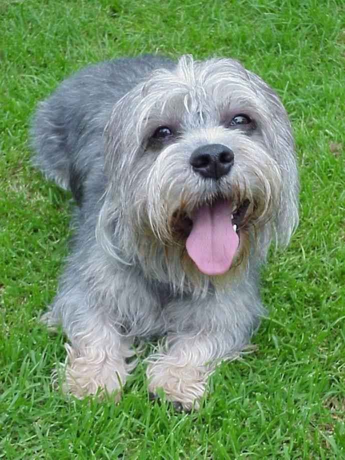 Денди динмонт терьер (Dandie Dinmont Terrier) 4