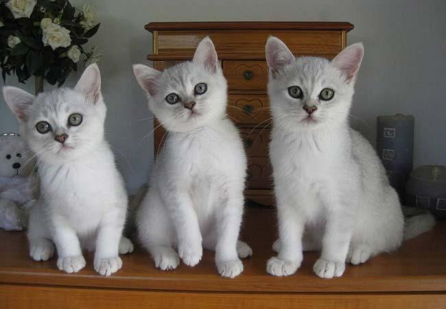 Бурмилла (Burmilla) котята