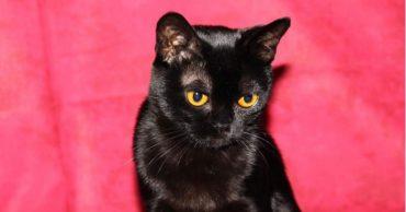 Бомбейская кошка: модница в маленьком черном платье от Шанель