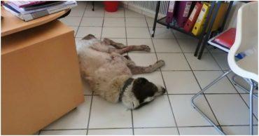 Шатаясь, алабай забрёл в офис и уснул на полу... Его истощение достигло предела, но история только начиналась...)