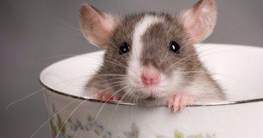 Крыса стандарт: любительница чистоты и всего блестящего!
