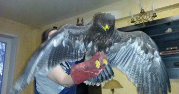 """""""Уставшая самка подорлика отчаянно отбивалась от нападавших одним крылом…"""" В Брянске спасли очень редкую птицу!"""