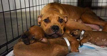 Великая сила материнского инстинкта! Мама-собака принесла щенят на крыльцо дома, чтобы люди спасли их от смерти!
