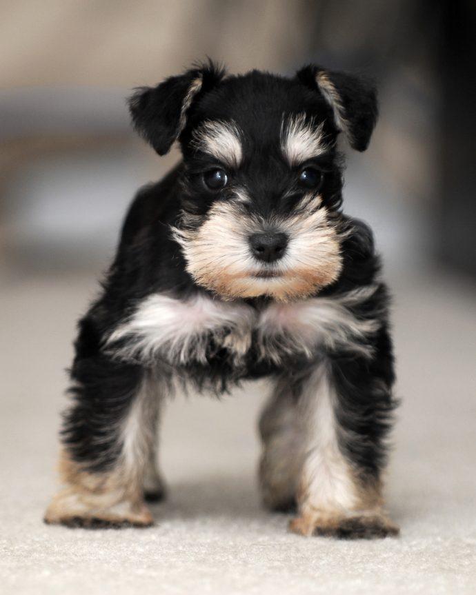 Цвергшнауцер щенок