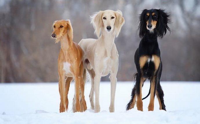 Салюки (Persian greyhound) 5