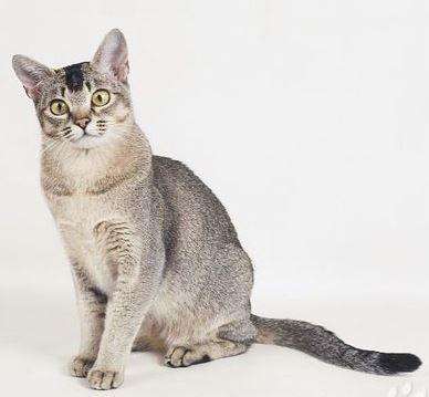 Азиатская дымчатая кошка (Asian Smoke) 4