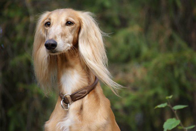 Салюки (Persian greyhound)