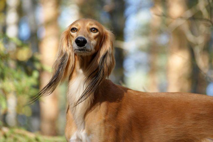 Салюки (Persian greyhound) 4