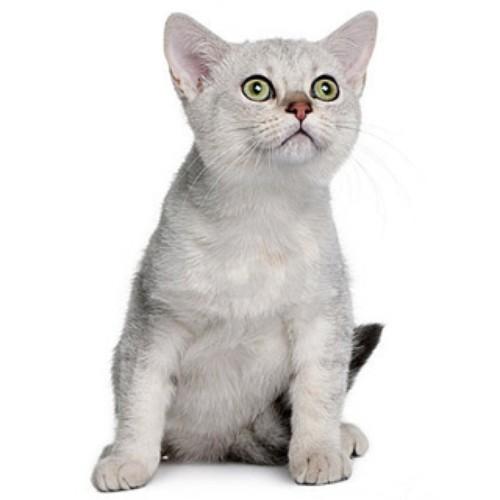Азиатская дымчатая кошка (Asian Smoke) 3