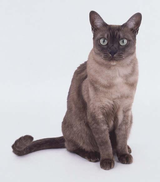 Азиатская дымчатая кошка (Asian Smoke)