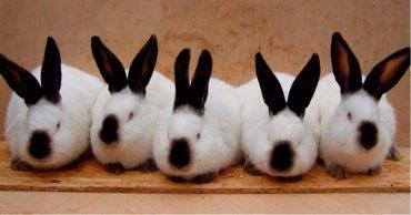 Калифорнийский кролик (Californian Rabbit)