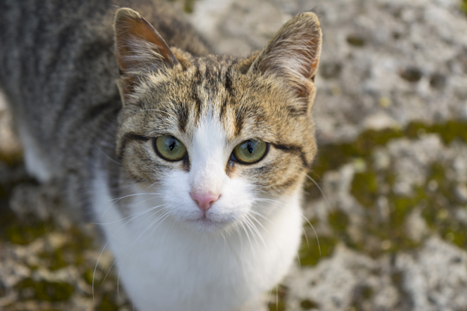 american-wirehair-cats-kittens-1