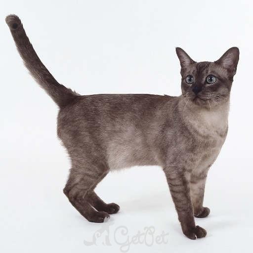 Азиатская дымчатая кошка (Asian Smoke) 2