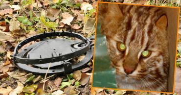 Не поднялась рука! Дальневосточный лесной кот повадился охотиться на кур и попал в капкан, но люди поступили неожиданно…