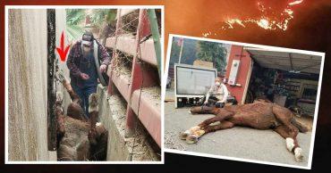 Бедную лошадь, упавшую в горящее стойло вниз головой, спасали в прямом эфире! Теперь малышка чувствует себя намного лучше :)