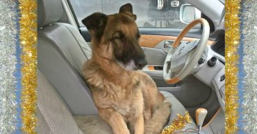 """На трассе среди машин лавировала овчарка. Волонтер крикнула ей """"рядом!"""" - и поняла, что собака совсем не простая! + ОБНОВЛЕНИЕ"""