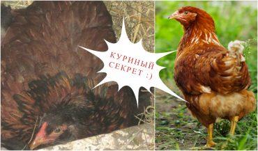 Эта дружелюбная курица вдруг стала прятаться... Заглянув в гнездо, фермер был сражен наповал!