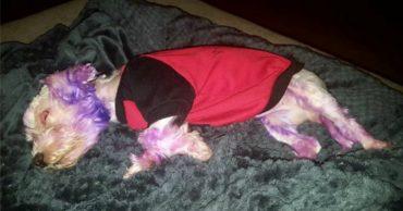 """""""А мне фиолетово!"""" Тот, кто покрасил собачку в ядовитый цвет, не представлял, что будет дальше!"""