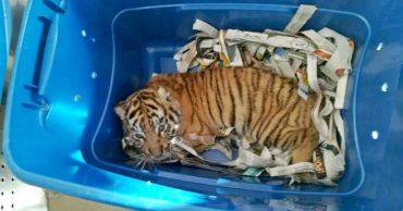 Необычная находка: в Мексике собака обнаружила живого тигра... в почтовой посылке!