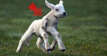 Сколько ног у этого ягнёнка? Необычное существо очень быстро бегает по английским лугам... :)