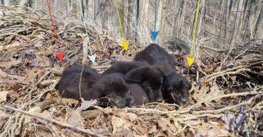 """""""5 маленьких испуганных лабрадоров жались друг к другу..."""" Спортсмены нашли крошек в лесу - и не смогли пройти мимо!"""