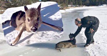 Шпагат по-оленьи! Подтаявший лёд порой становится непреодолимым препятствием для вот таких малышей!