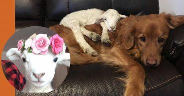 От слабого ягненка отвернулась мама... И тогда его пригрела большая и лохматая рыжая собака!)