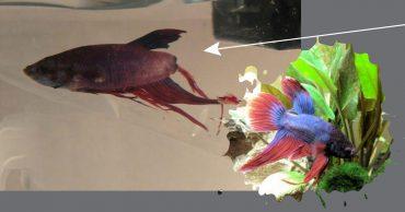 Рыбка распадалась на части в аквариуме магазина... Её полюбили в последний момент - и она возродилась, как феникс!