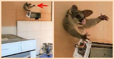 Пришёл на запах! Пухленький поссум собрался проникнуть ночью на чужую кухню, но... застрял в стене!