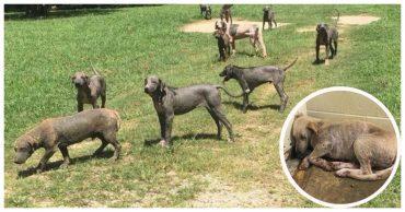 """""""Это не собаки, это анатомические скульптуры!"""" По двору бродили 30 лысых теней, оставшихся от когда-то веселых животных..."""