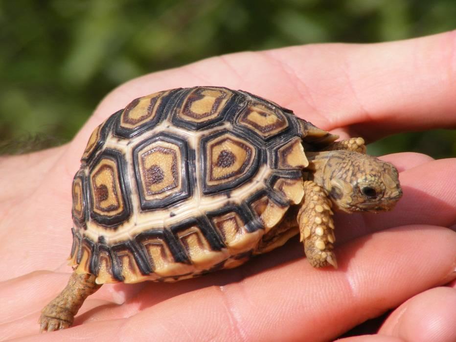 Как-выглядит-черепаха-фото