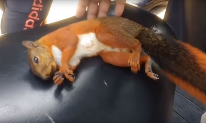 Video-shows-squirrel-being-resurrected-after-being-electrocuted-5acb124ab1906__700