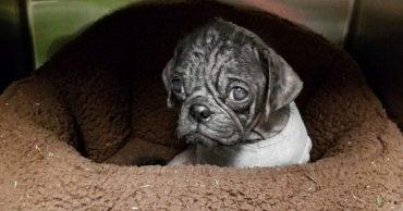Обиделся! Как помочь щенку мопса, если жизнь подарила ему неласковый сюрприз?..