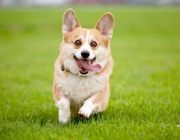 Порода-собак-вельш-корги