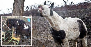 7 лошадей обнаружили на болоте, за колючей проволокой... Но главный узник был заперт в трейлере!