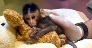 Маму детеныша макаки убили браконьеры! И вот однажды он увидел плюшевого жирафа...