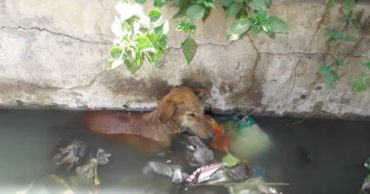 Её слезы таяли в мутной воде... Собака со сломанной лапой угодила в сточную канаву!