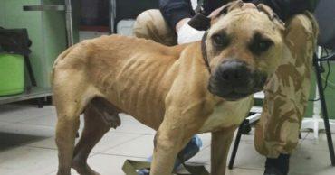 Хозяин привязал бойцовского пса к дереву и бросил умирать... Ни еды, ни воды, ни надежды!